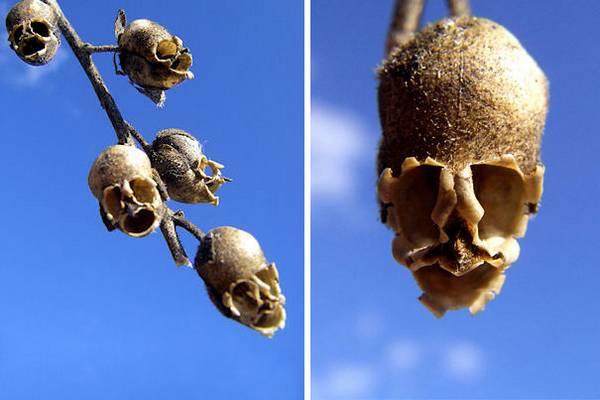 Las Flores con las formas mas raras del mundo 13