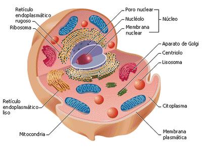 Dibujos de la celula animal y sus partes