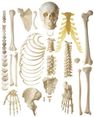 dibujos_esqueleto_humano