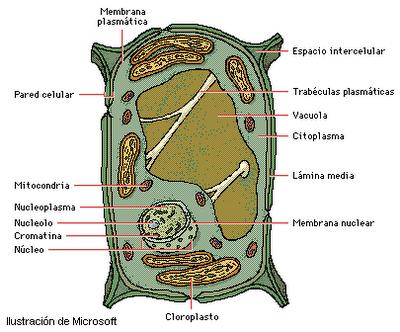 imagenes-celula-vegetal
