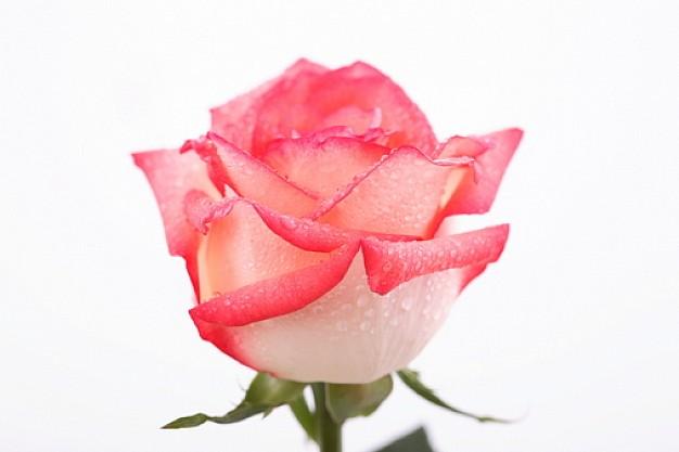 knoppar--blommor--rosor--kronblad_3139740