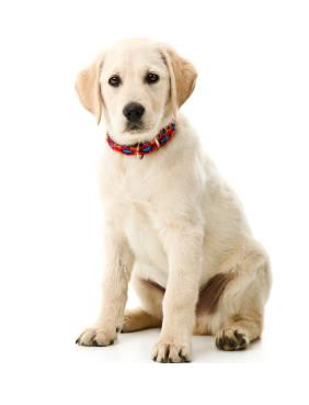 Labrador (1)