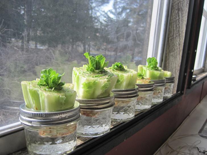 re-growing-lettuce