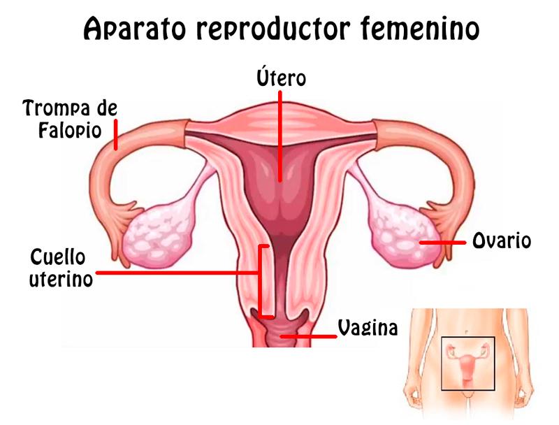 Imagenes aparato reproductor femenino (con nombres)