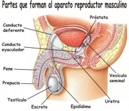 260px-Sistema-reproductor-masculino