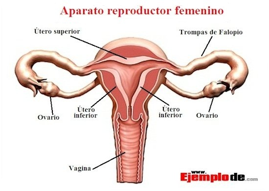 reproduccion-femenina1