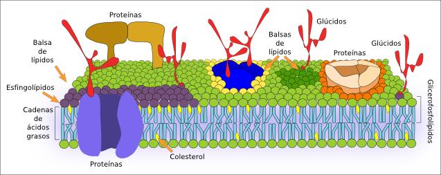 membrana-celular-y-sus-partes-y-funciones-0