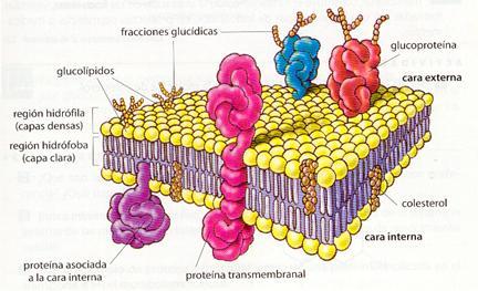 membrana-celular-y-sus-partes-y-funciones-1
