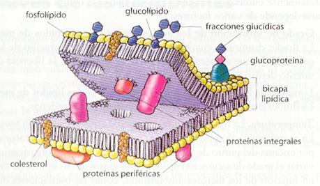 membrana-celular-y-sus-partes-y-funciones-2