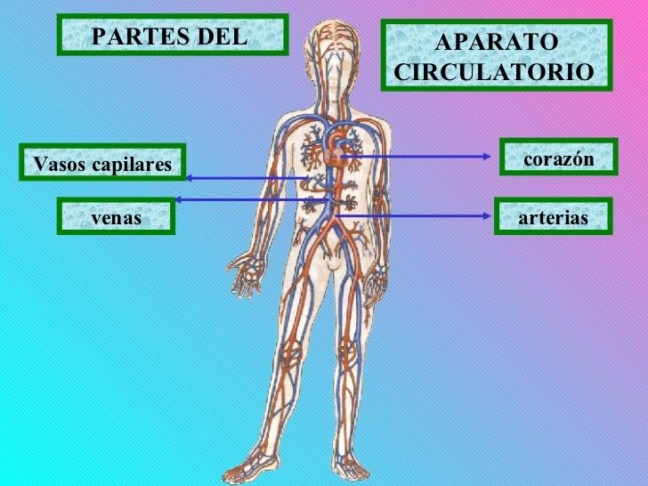 Perfecto Principales órganos Del Sistema Esquelético Imagen ...