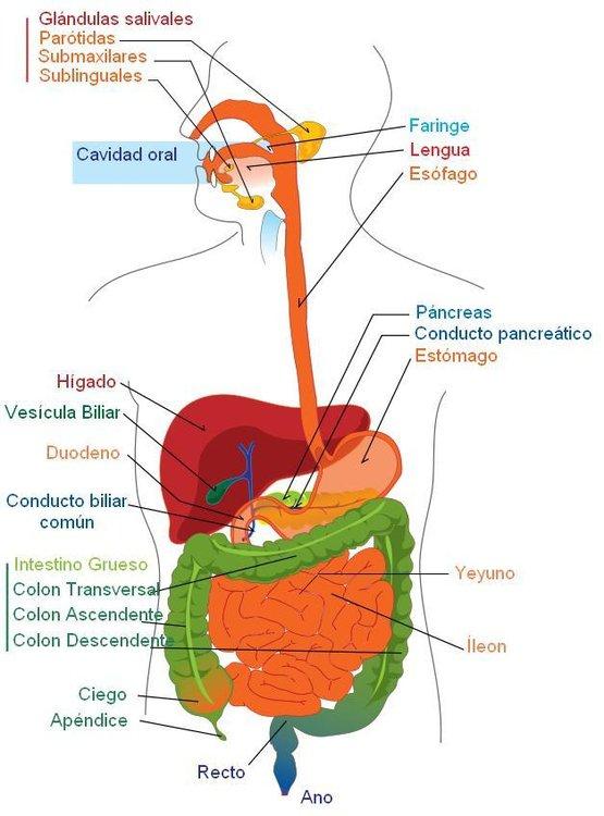 aparato-digestivo-espanol-7895