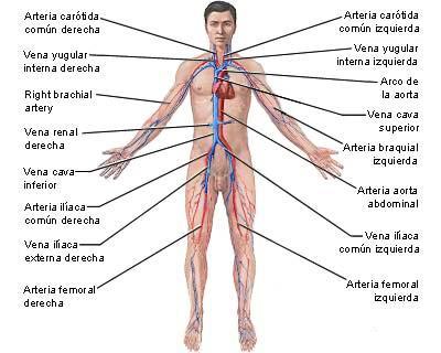 sistema-circulatorio1