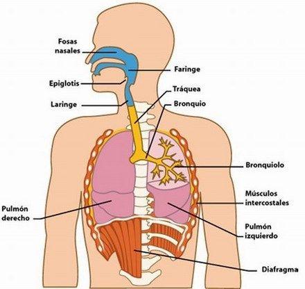 partes-del-sistema-respiratorio