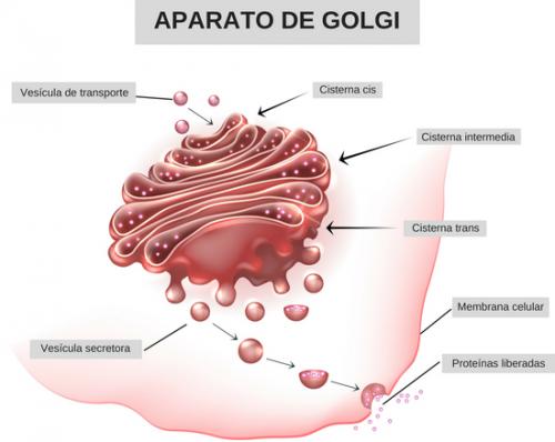 aparato-de-golgi-2_bg