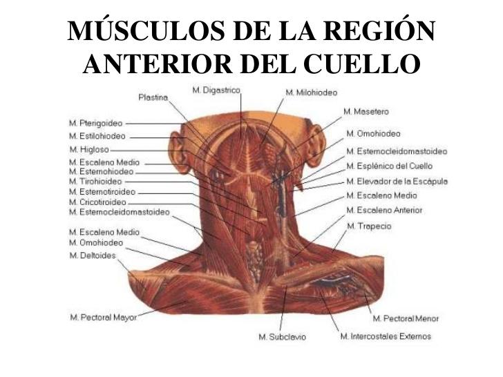 msculos-del-cuello-1-728