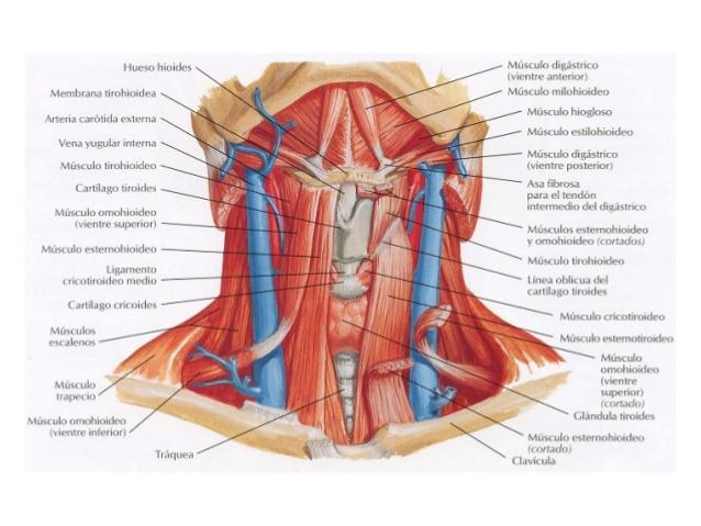 musculos-de-cuello1