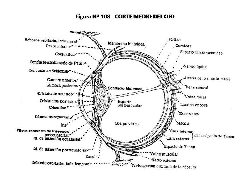 Partes del ojo humano para colorear