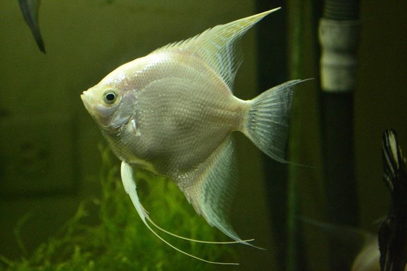 pez-angel
