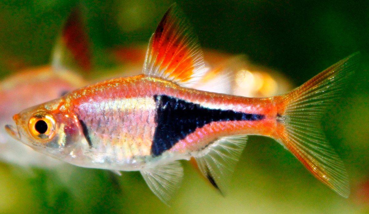 pez-arlequin