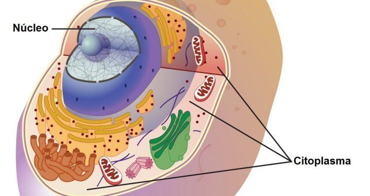 citoplasmafunciones1