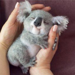 Imagenes de koala