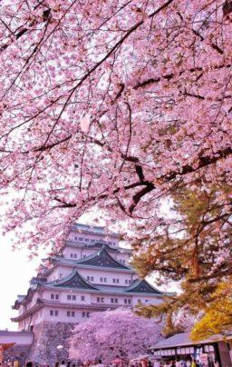 Arbol de sakura imagenes
